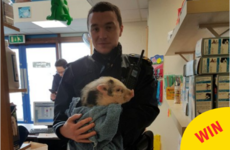A tiny lost pig was reunited with his owners after the Gardaí picked him up