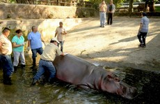 Brutally killed: El Salvador in shock as Gustavito the hippo stabbed to death