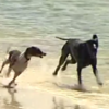'It could have been a little nipper' - Shark snatches dog from Sydney beach