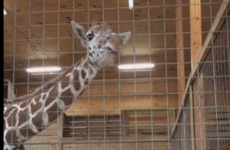 Millions of people have been watching a live stream of a pregnant giraffe about to give birth