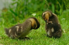 It's Friday so here's a slideshow of ducklings from around the world