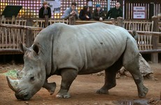 Vince the white rhino shot by poachers at French zoo and mutilated with chainsaw