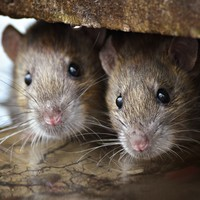 The Mayor of Paris has declared war on rats