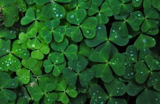 Fun poll: Are you wearing an actual sprig of shamrock today?