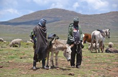 China's demand for medicine fuels African donkey slaughter