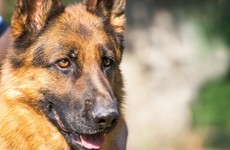 German Shepherds can detect breast cancer by sniffing bandages