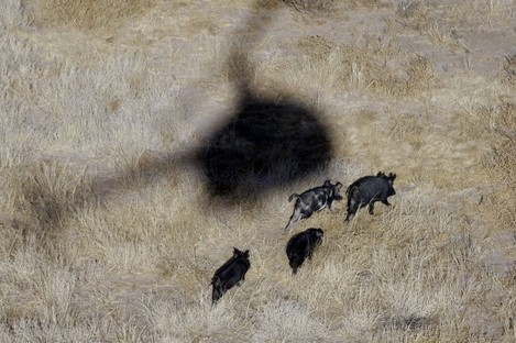 A helicopter hovers over feral pigs near Mertzon, Texas.