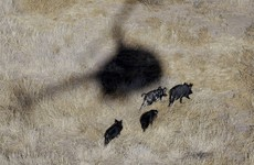 Oklahoma residents armed with machine guns to be allowed hunt pigs from helicopters