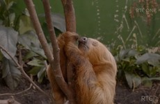 Everyone fell in love with Dublin Zoo's elderly sloth on RTÉ last night