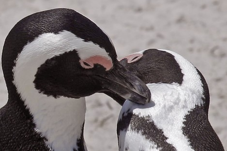 African Penguins at Boulders Beach on the outskirts of the city of Cape Town, South Africa, Thursday, Jan 19, 2012.