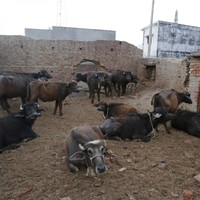 Muslim man killed after being attacked by hundreds of 'cow vigilantes' in India