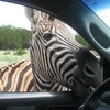 It's Friday so here's a slideshow of zebras from around the world