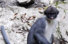 Monkey long-believed to be extinct discovered in Indonesia