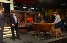 The 'world's smallest cow' from Sligo was one of the star guests on the Late Late last night