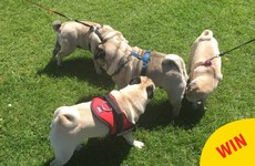 There's a 'Dublin Pug Club' where hundreds of pugs meet and play together every month