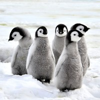 7,000 year old penguin poo reveals volcanic eruptions almost wiped out Antarctic sea bird colony