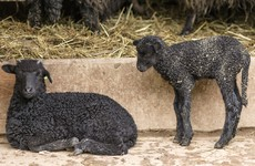 Deadly worm disease in lambs is on the increase, farmers warned