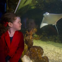 'She's a curious little thing': Meet the first tropical stingray to be born in Ireland