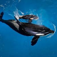 Last killer whale born in captivity arrives at SeaWorld park