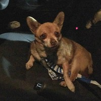 Nigel the chihuahua is going global after he was arrested for 'disorderly behaviour' in Armagh