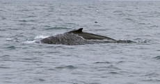 First humpback whale of 2012 spotted off the Wexford coast
