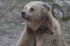 These brown bears now live in the lap of luxury after a life of horrendous abuse