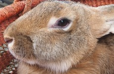 Fresh PR headache for United Airlines as giant rabbit dies on plane