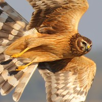 State scheme teams up farmers with endangered birds of prey