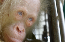 A rare albino orangutan has been rescued in Borneo and the public are being asked to name her
