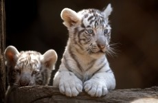 It's Friday so here's a slideshow of tiger cubs from around the world