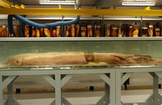 Rare giant squid caught off the coast of Dingle to be brought to Natural History Museum