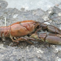 Ireland has one of the largest populations of white-clawed crayfish but a plague is killing them
