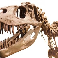 Tyrannosaurus Rex was able to pulverise bones with its teeth