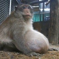 Morbidly obese Thai monkey placed on strict diet after years gorging on junk food