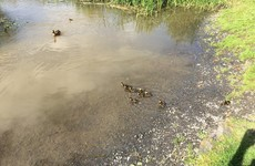The Limerick Fire Brigade came across a group of ducklings in the city and released them back into the wild