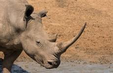 Rhino kills conservationist in Rwanda