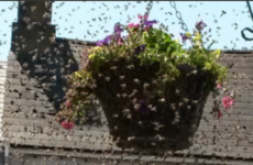 A swarm of bees swept through Midleton's main street today