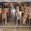 'We always manage to have enough dogs': Notorious dog meat festival gets underway in China