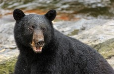 Experts bewildered by 'lightning strike' surge in fatal bear attacks in Alaska