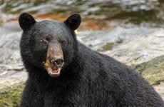 Experts bewildered by 'lightning strike' surge in fatal bear attacks in Alaska