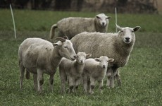 'This was quite a brutal act': Sheep ears cut off in violent Co Down attack
