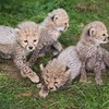 These four cheetah cubs are the new arrivals at this Cork wildlife park