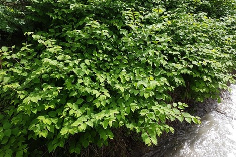 File photo of Japanese knotweed
