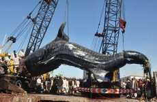 In pictures: whale shark displayed in Pakistan