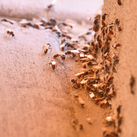 It's that time of the year again - here's why you'll be seeing flying ants all over the place