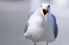 Poll: Have you been divebombed by a seagull this year?