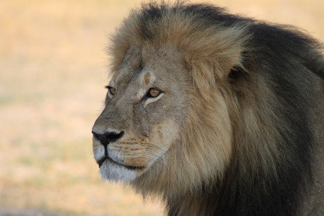 Cecil the lion at Hwange National Park in 2015.