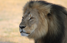 Cecil the lion's son Xanda shot dead in Zimbabwe trophy hunt