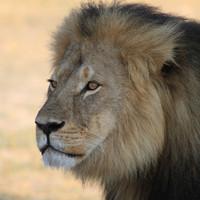 Cecil the lion's son Xanda shot dead in Zimbabwe trophy hunt