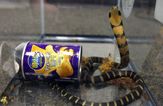 Californian man accused of smuggling 3 king cobras in crisp cans